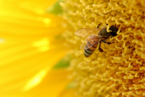 USDA Will Spend $4 Million to Help Honey Bees