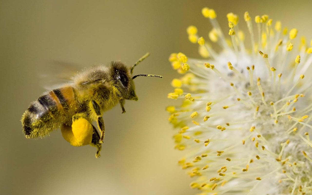 Con ong mật