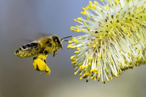 Nếu ong tuyệt chủng, cả thế giới sẽ bị đói