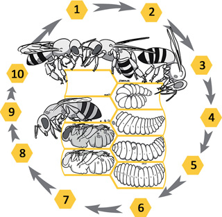 Zawislak_varroa-lifecycle_320x313