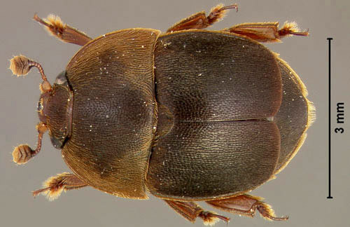 Bo_to_ong_small_hive_beetle