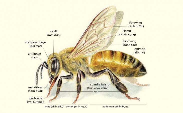 Cấu tạo ong mật